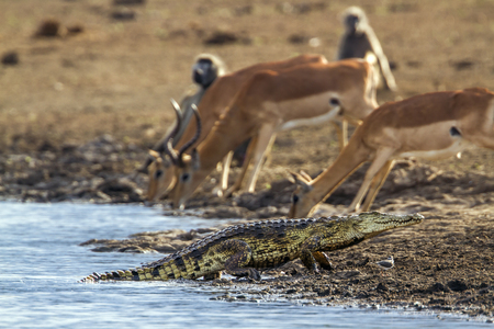 niloticus: Specie Crocodylus niloticus family of Crocodylidae, impalas and crocodile in Kruger Park, South Africa