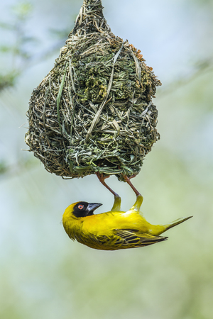 kruger national park: Specie Ploceus velatus family of Ploceidae, Southern Masked Weaver in Kruger National Park, South Africa