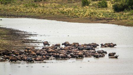 bovidae: Specie Syncerus caffer family of bovidae, africa herd of buffalo in the river Stock Photo