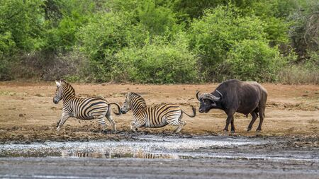 Specie Syncerus caffer and Equus quagga burchellii, wild zebras and buffalo in the riverbank, Kruger Stock Photo