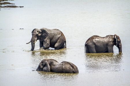 loxodonta africana: Specie Loxodonta africana family of Elephantidae, African bush elephants bathing in South Africa Stock Photo