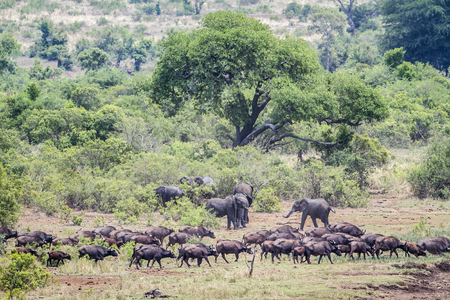 loxodonta africana: Specie Syncerus caffer and Loxodonta africana, herd of african bush elephants in Africa Stock Photo