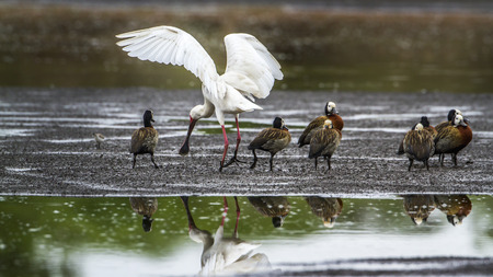 kruger park: Specie Dendrocygna viduata and Platalea alba, white faced spoonbill and whistling wings open in Kruger Park Stock Photo