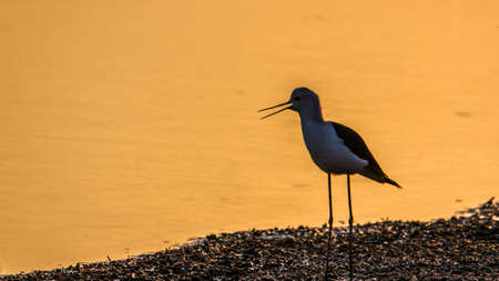 himantopus: Specie Himantopus himantopus family of Charadriidae, black winged stilt on sunset Stock Photo