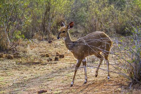 bovidae: Specie family of bovidae, bushbuck in savannah, South Africa