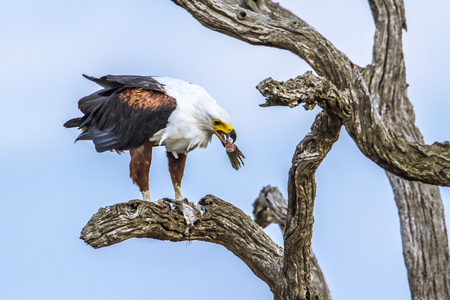 kruger park: Specie Haliaeetus vocifer Haliaeetus vocifer family of fish eagle was dead tree in Kruger Park Stock Photo