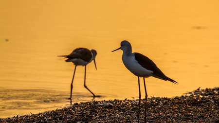 black winged stilt: Specie Himantopus himantopus family of Charadriidae, black winged stilt on sunset Stock Photo