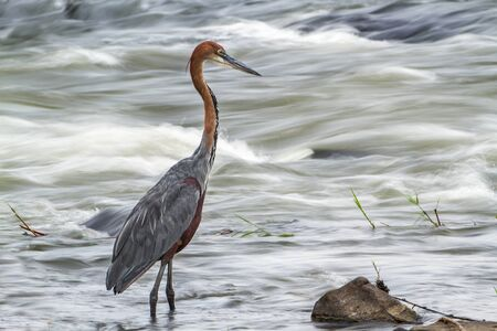 freshwater bird: Specie Ardea goliath family of ardeidae Goliath heron in the river, South Africa