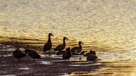 freshwater bird: Specie Dendrocygna viduata family of anatidae, white faced whistling ducks in the riverbank Stock Photo