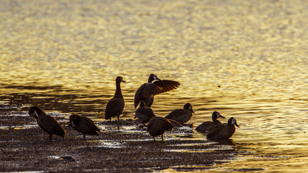anatidae: Specie Dendrocygna viduata family of anatidae, white faced whistling ducks in the riverbank Stock Photo