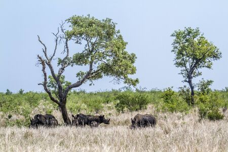 specie: Specie Ceratotherium simum simum family of Rhinocerotidae, southern white rhinoceros in South Africa