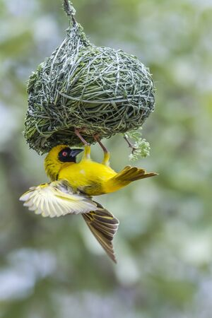 weaver bird nest: Specie Ploceus velatus family of Ploceidae Stock Photo