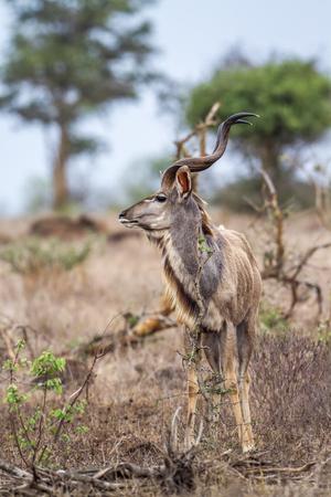 bovidae: Specie Tragelaphus strepsiceros family of bovidae, Greater Kudu walking in the bush