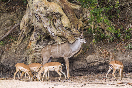 bovidae: Specie Tragelaphus strepsiceros family of bovidae, Greater kudu and group of impalas in the bush