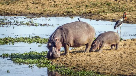 amphibius: Specie Hippopotamus amphibius family of Hippopotamidae, hippos in the riverbank, mother and baby