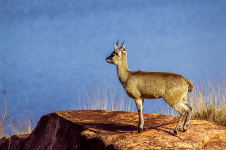 bovidae: Specie Oreotragus oreotragus family of bovidae, klipspringer and landscape of Africa Stock Photo