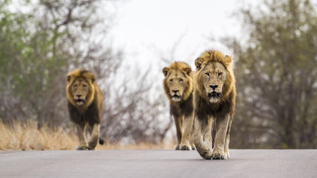 specie: Panthera leo specie of felidae family, three male lions walking on the road