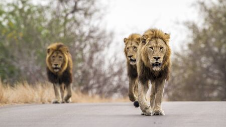 felidae: Panthera leo specie of felidae family, three male lions walking on the road