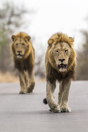 felidae: Panthera leo specie of felidae family, two male lions walking on the road in Kruger Stock Photo