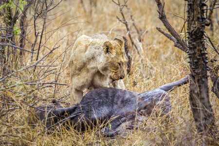 felidae: Specie Panthero leo family of felidae, lioness eating a dead wildebeest in the bush