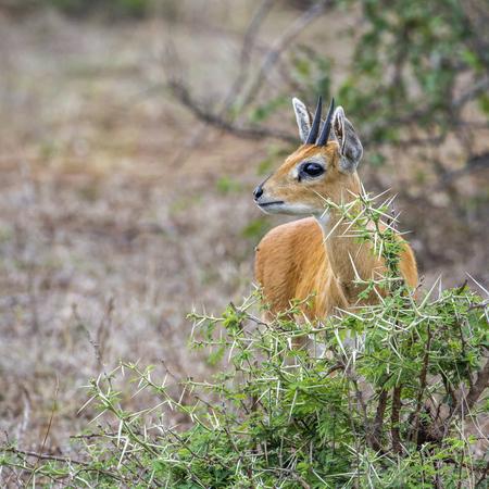 bovidae: Specie Raphicerus campestris family of bovidae, african steenbok in the bush Stock Photo