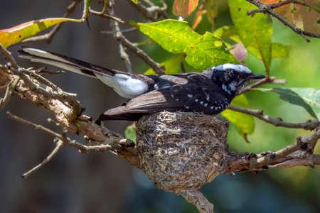 nesting: white-browed fantail nesting in Udawalawe, Sri Lanka Stock Photo