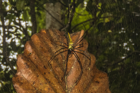 orb weaver: Northern Golden Orb Weaver in Sinharaja Rain Forest Stock Photo