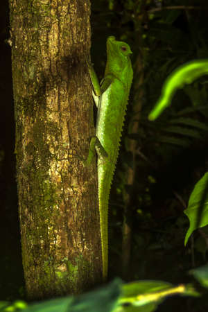 nosed: hump nosed lizard on a tree in Sinharaja Rain Forest, Sri Lanka