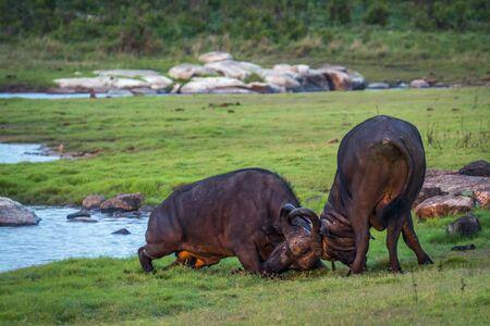 bovidae: Specie Syncerus caffer family of bovidae, african buffalo in savannah