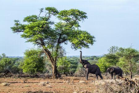 Specie Loxodonta africana family of Elephantidae, African bush elephant in Kruger park Stock Photo