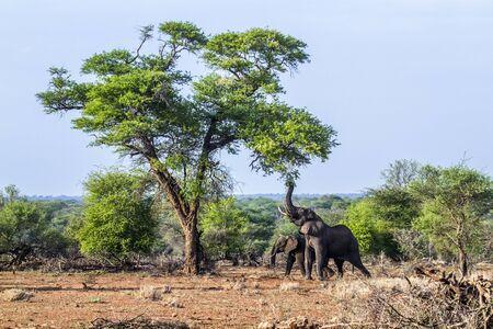 specie: Specie Loxodonta africana family of Elephantidae, African bush elephant in Kruger park Stock Photo