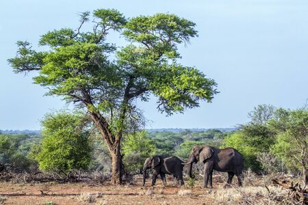 kruger park: Specie Loxodonta africana family of Elephantidae, African bush elephant in Kruger park Stock Photo