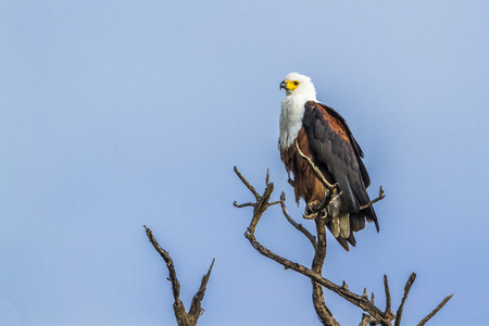 accipitridae: Specie Haliaeetus vocifer family of Accipitridae, African fish eagle on a branch Stock Photo