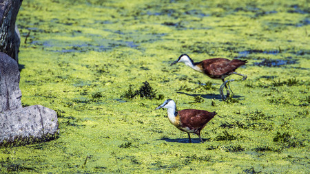 jacana: Specie Actophilornis africanus family of Jacana, African Jacana in the riverbank