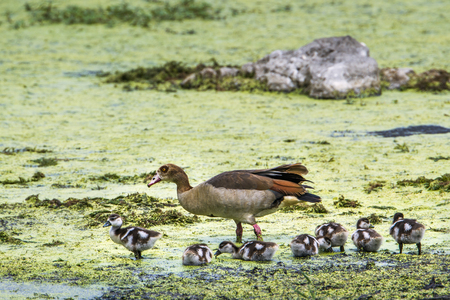 anatidae: Specie Alopochen aegyptiaca family of anatidae, egyptian gooses in the riverbank