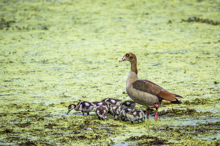 freshwater bird: Specie Alopochen aegyptiaca family of anatidae, egyptian gooses in the riverbank