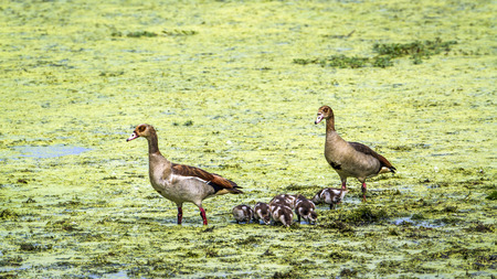 small group of animals: Specie Alopochen aegyptiaca family of anatidae, egyptian gooses in the riverbank