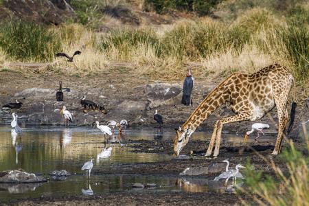 giraffa: Specie Giraffa camelopardalis family of Giraffidae, giraffe and water birds in Kruger