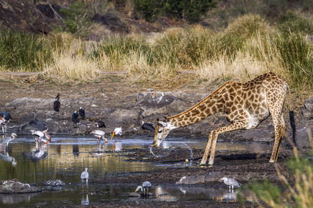 giraffa camelopardalis: Specie Giraffa camelopardalis family of Giraffidae, giraffe and water birds in Kruger
