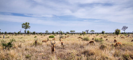 kruger park: Specie Aepyceros melampus family of bovidae, landscape and impalas in Kruger park Stock Photo