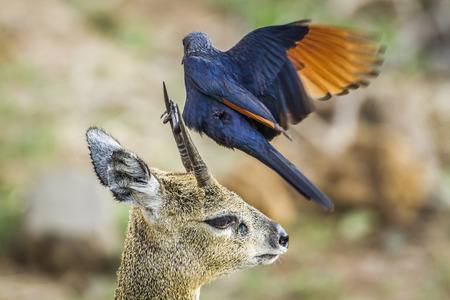red winged: Specie Onychognathus morio family of sturnidae and Oreotragus oreotragus,  red winged starling on a klipspringer Stock Photo
