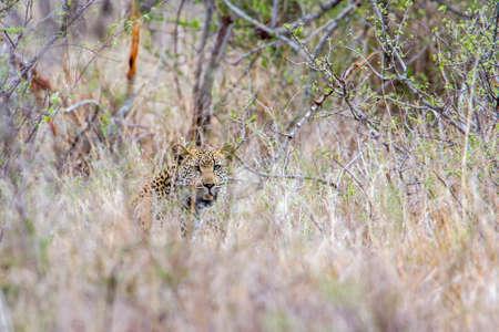 felidae: Specie Panthera pardus family of felidae, wild leopard in savannah