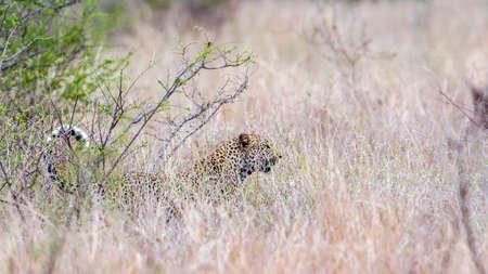 Specie Panthera pardus family of felidae, wild leopard in savannah