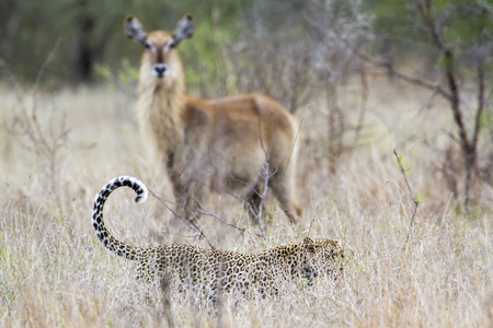 felidae: Specie Panthera pardus family of felidae, waterbuck and leopard in the bush Stock Photo