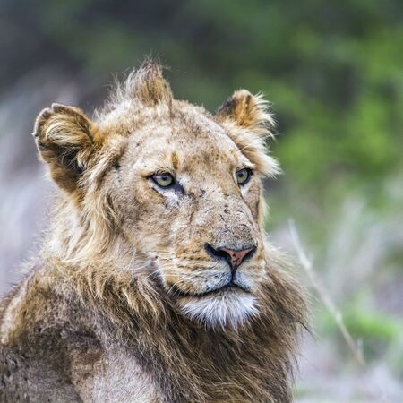 specie: Specie Panthera leo family of felidae, portraait of a young male lion Stock Photo