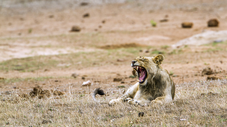 specie: Specie Panthera leo family of felidae, african lions in Kruger park