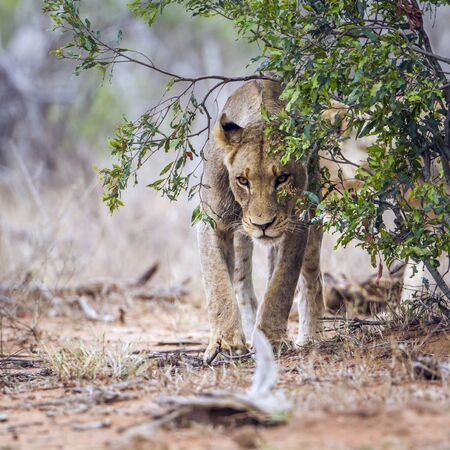 specie: Specie Panthera leo family of felidae, lioness in Kruger park Stock Photo