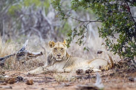 felidae: Specie Panthera leo family of felidae, african lions in Kruger park