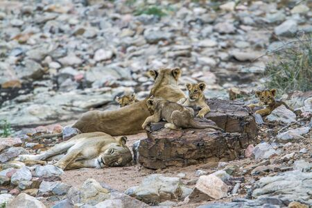 small group of animals: SpeciePanthera leo family of felidae, african lions in Kruger park