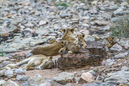 felidae: SpeciePanthera leo family of felidae, african lions in Kruger park